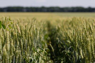 Obraz pšeničné pole na letní den