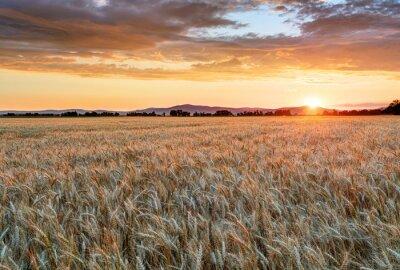 Obraz Pšeničné pole při západu slunce