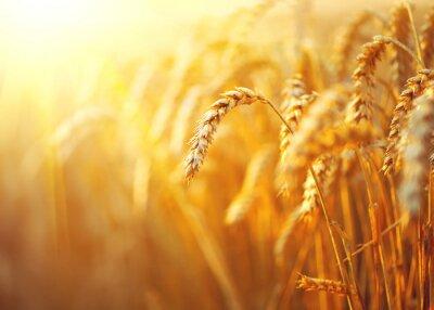 Obraz Pšeničné pole. Uši zlaté pšenice detailní. Venkovská krajina pod zářícím slunečním světle
