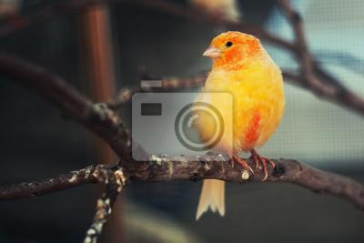 Pták kanárek v kleci.