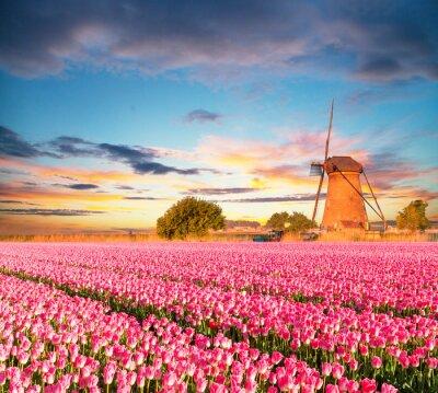 Obraz Pulzující pole tulipány s holandskou větrný mlýn