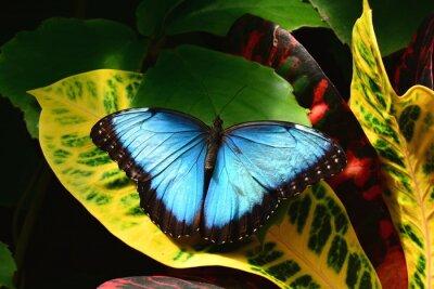 Obraz Půvabnou modrou morpho motýl přistává v Butterfly zahrady.
