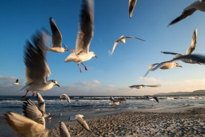 Obraz Rackové v letu pobřeží Baltského moře Binz Německo