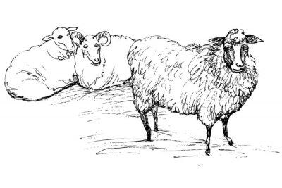 Obraz Ram a ovce