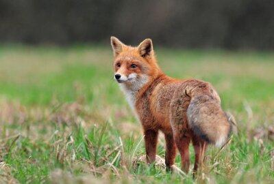 Obraz Red fox