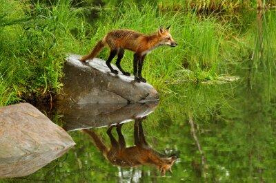 Obraz Red Fox a voda reflexe obklopená zelená.