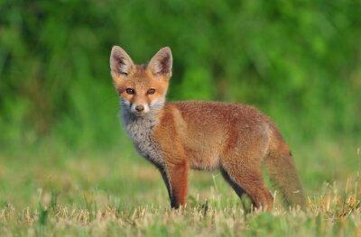 Obraz Red fox cub