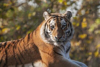 Obraz Resting Indian Tiger