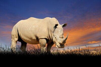 Obraz Rhino na pozadí západu slunce na obloze