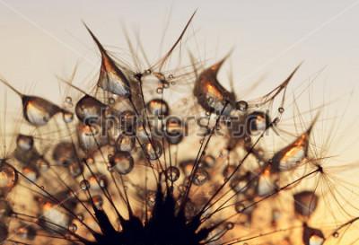 Obraz Rosa kapky na pampeliška semena při východu slunce zblízka.