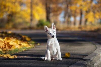Obraz rozkošný sibiřský husky štěně sedí venku na podzim