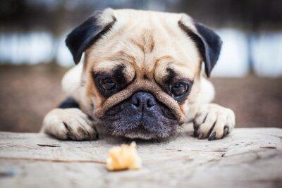 Obraz Roztomilý mops štěně