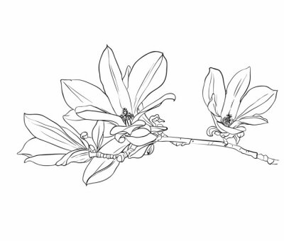 Obraz Ručně tažené magnólie květiny.
