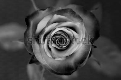 Obraz Růže. Dekorativní černá a bílá růže. Elegantní romantický květ.