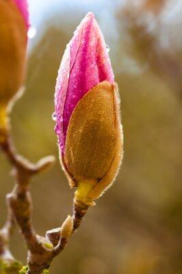 Obraz Růžová magnólie poupě s kapkami deště. Zblízka pohled na rozostření pozadí