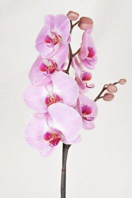 Obraz Růžová orchidea pruhovaný