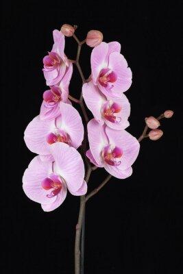 Obraz Růžová pruhovaný květ orchideje (Phalaenopsis)