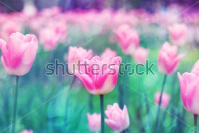 Obraz Růžové květiny tulipány osvětlené slunečním světlem. Měkké selektivní zaostření, tónování. Jasné barevné pozadí