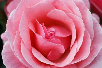 Obraz růžové růže