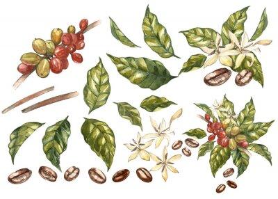 Obraz Sada červené kávy arabica fazole na větvi s květinami izolované, akvarel ilustrace.