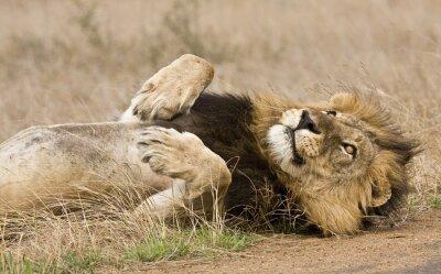 Obraz samec lva vleže v buši, Kruger, Jižní Afrika