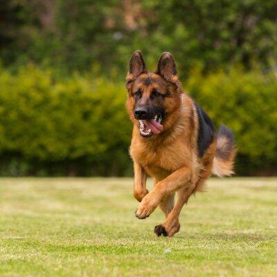 Obraz Schaeferhund läuft Wiese
