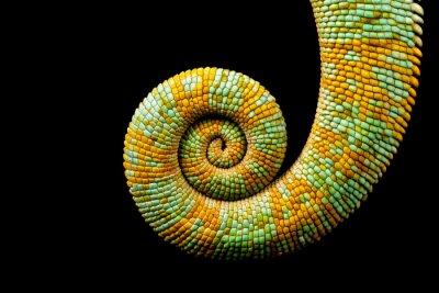 Obraz Schoulená ocas z Jemenu chameleon izolovaných na černém pozadí