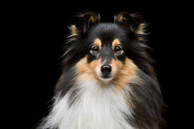 Obraz Sheltie pes