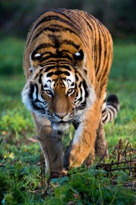 Obraz Sibiřský tygr