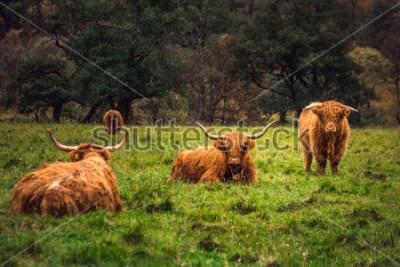 Obraz Skotská vysočina kráva v poli s velkými rohy a dlouhými vlasy, Skotsko.