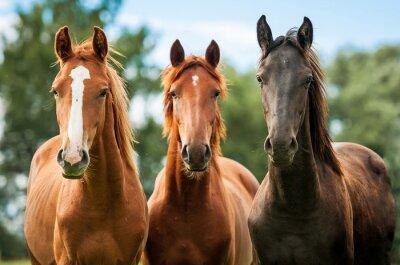 Obraz Skupina tří mladých koní na pastvě
