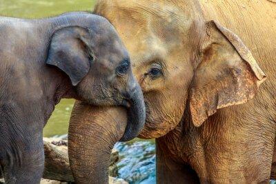 Obraz slon a slůně