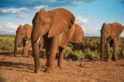 Obraz Slon africký matriarchát proti modré obloze