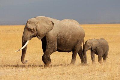Obraz Slon africký s teletem, Národní park Amboseli