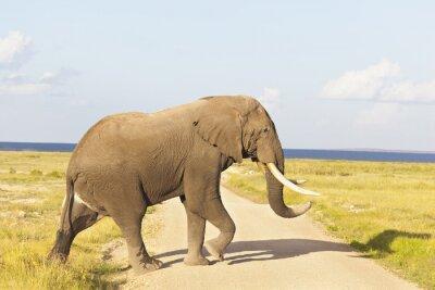 Obraz Slon africký v Keni