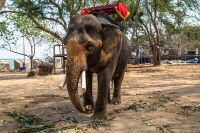 Obraz Slon indický
