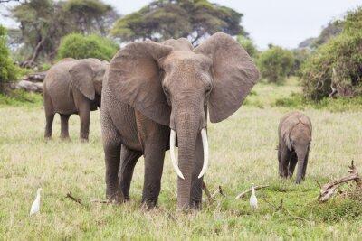 Obraz Slon rodina v Keni