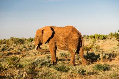 Obraz Slon v Národní park Tsavo East v Keni