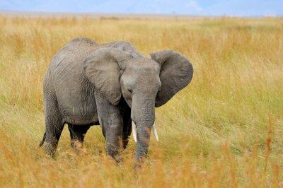 Obraz Slon v národním parku Keni