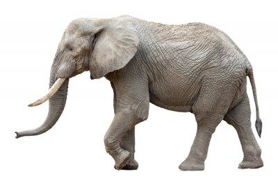 Obraz Slon v přední části bílém pozadí