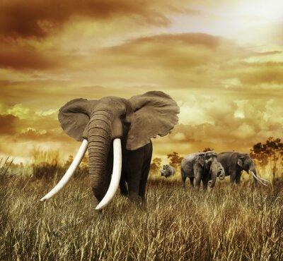 Obraz Sloni při západu slunce