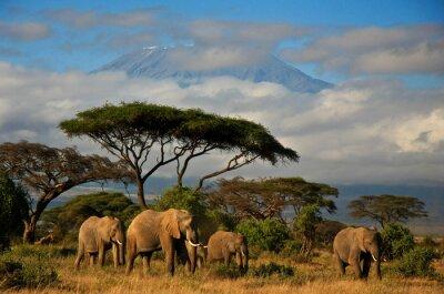 Obraz Sloní rodina před Mt. Kilimanjaro