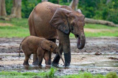 Obraz Sloní samice s dítětem. Středoafrická republika. Republika Kongo. Dzanga-Sangha Special Reserve. Vynikající ukázkou.