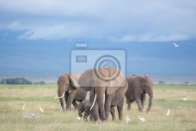 Obraz sloni v Amboseli / rodiny