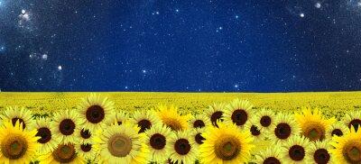 Obraz Slunečnice pole