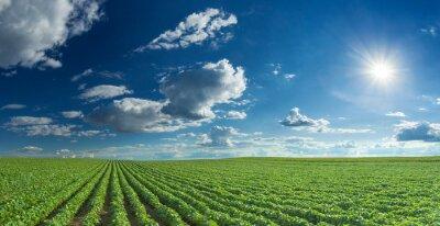 Obraz Sójový řádků pole v letní sezóně