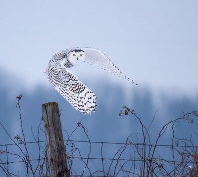 Obraz Sovice sněžní v letu