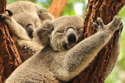 Obraz Spací koaly