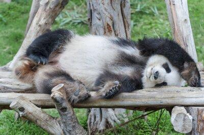 Obraz Spící obří panda bear