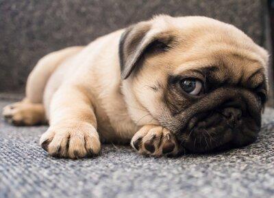 Obraz štěně mops